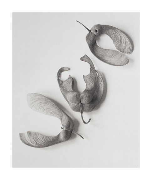 Acer Seeds platinum print by Richard Freestone of 139 Printroom