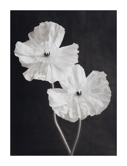 Poppy Duo platinum print by Richard Freestone of 139 Printroom