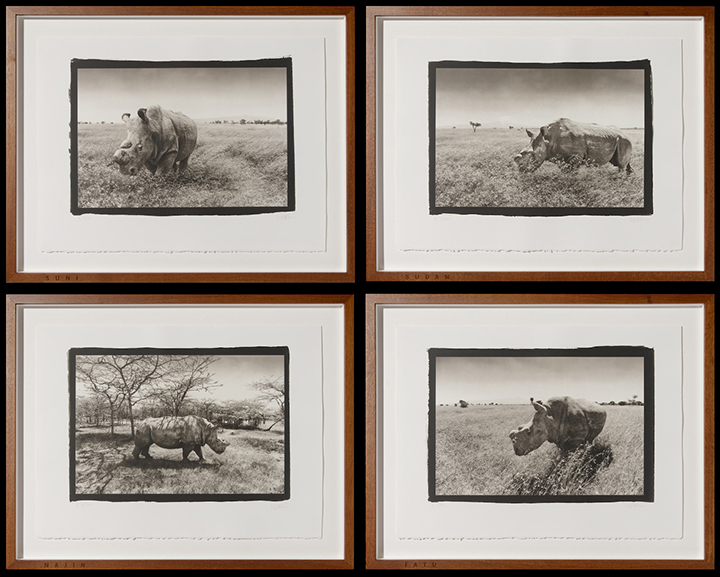 4 Northern White Rhinos platinum prints by Richard Freestone of 139 Printroom for Ian Aitken