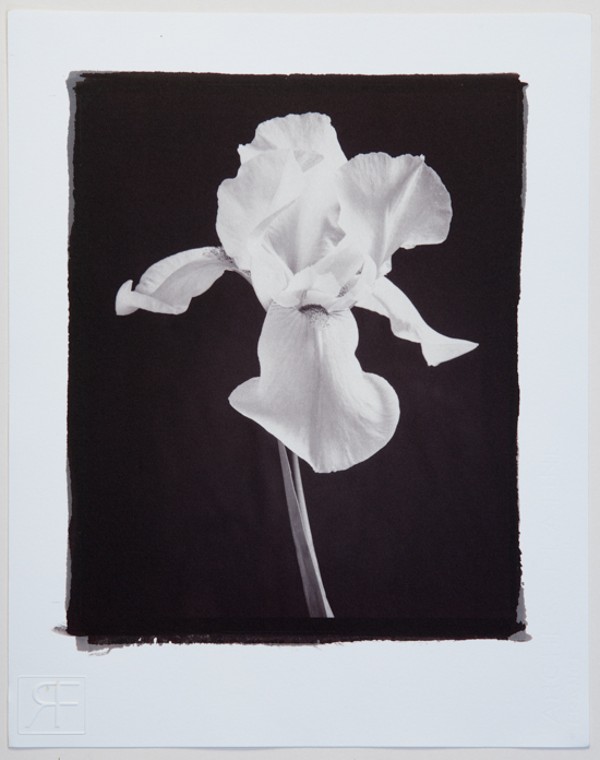 Iris. A gold toned salt print.  Richard Freestone of 139 Printroom